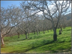 Orchards on Santa Rosa Rd
